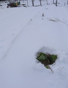 Cabbage under the snow     Un chou attendant d'être cueilli sous la neige.