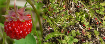 Fragaria virginiana-common strawberry-fraise copy