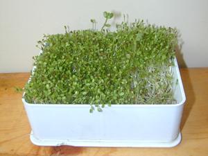 La germination est une des meilleures façons d'obtenir de la verdure en hiver.