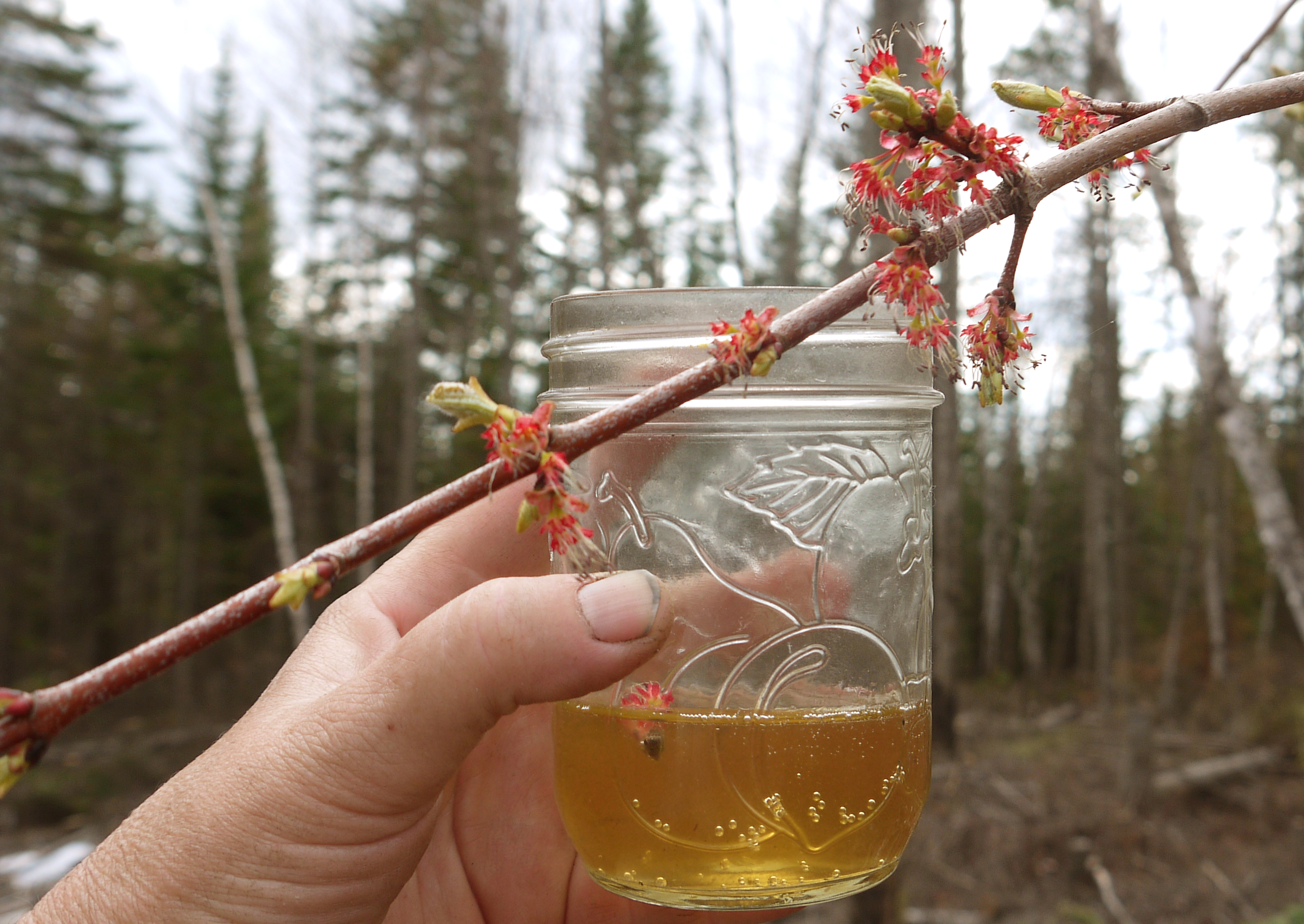 how to make birch beer from sap