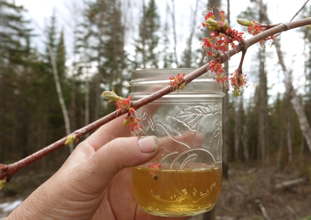 Maple Beer with Maple flowers