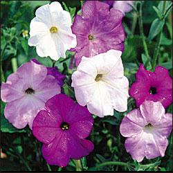 FlowerViningPetunia
