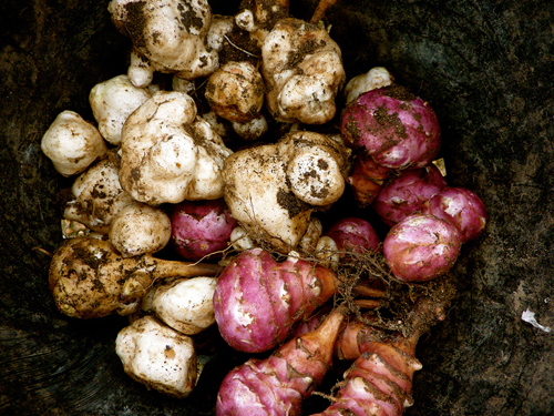 jerusalem-artichokes roots-646