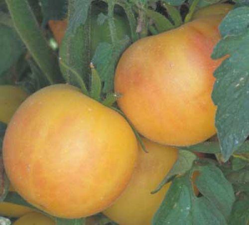 tomato-Wapsipinicon_Peach